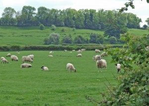 Harbury Fields May Sheep Grazing